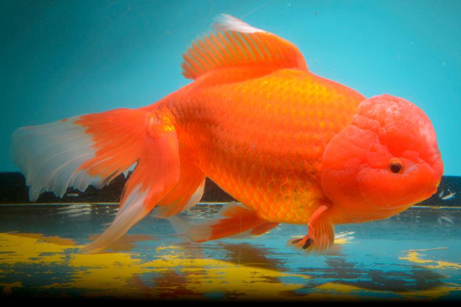 ▲クリスマス特別水槽 赤白模様がかわいらしい金魚「ジャンボオランダシシガシラ」を公開します