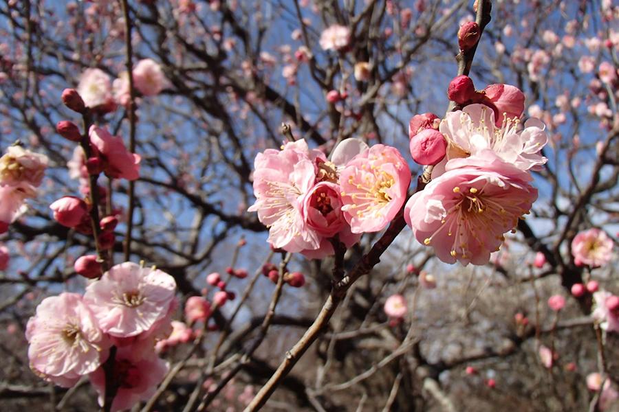 神代植物公園 梅まつり