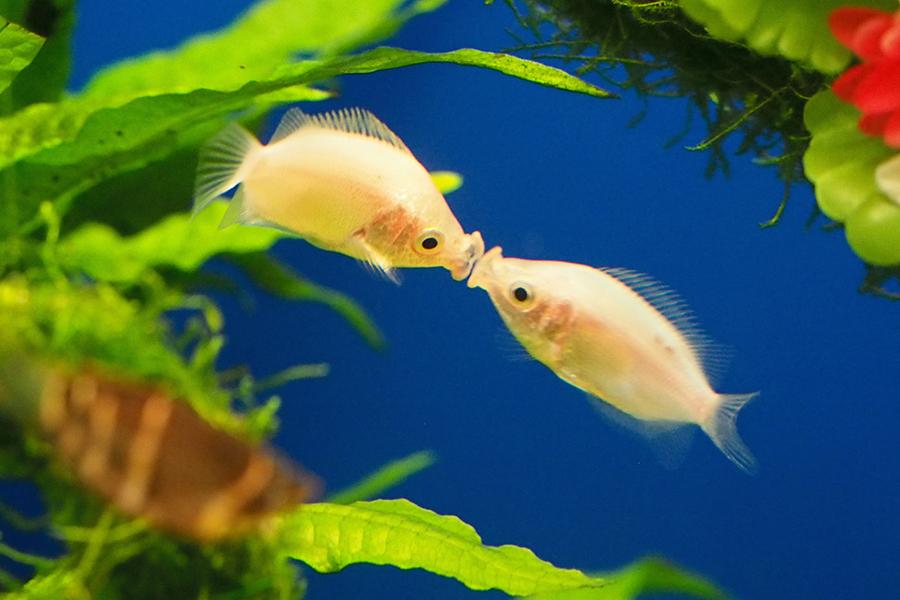 サンシャイン水族館 キッシンググラミー