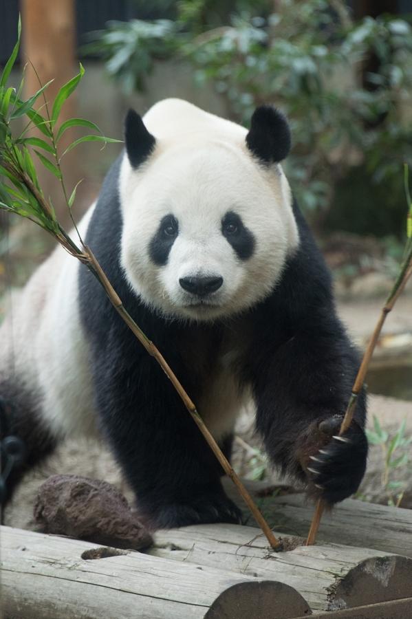 上野動物園 パンダのごはん
