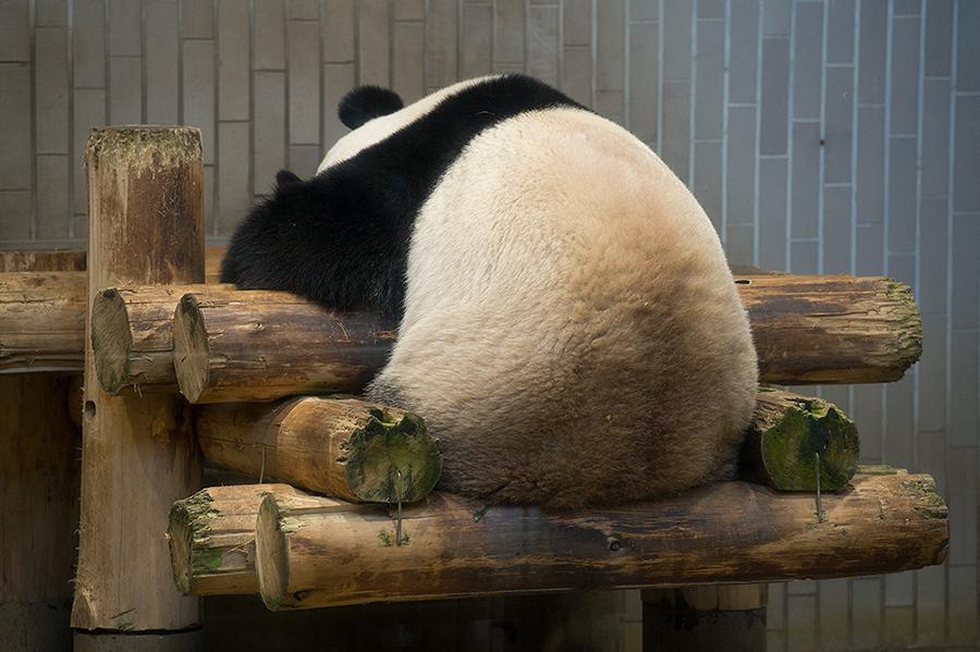 上野動物園 パンダ後ろ姿