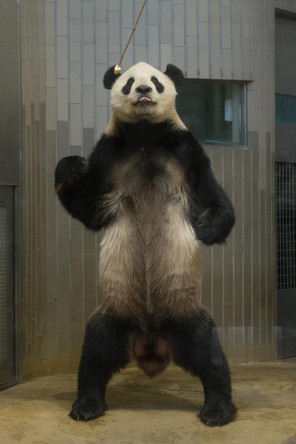 上野動物園 立ちパンダ