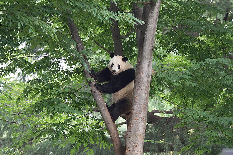 上野動物園 木登りパンダ