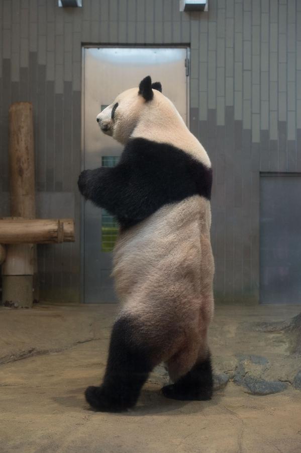 上野動物園 歩きパンダ