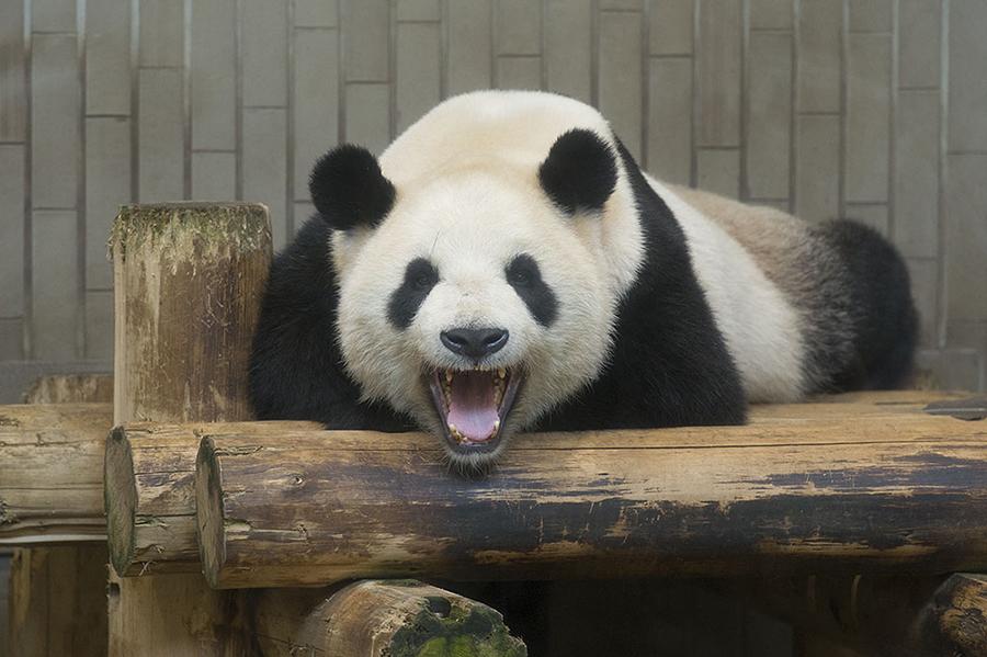 上野動物園 吼えパンダ