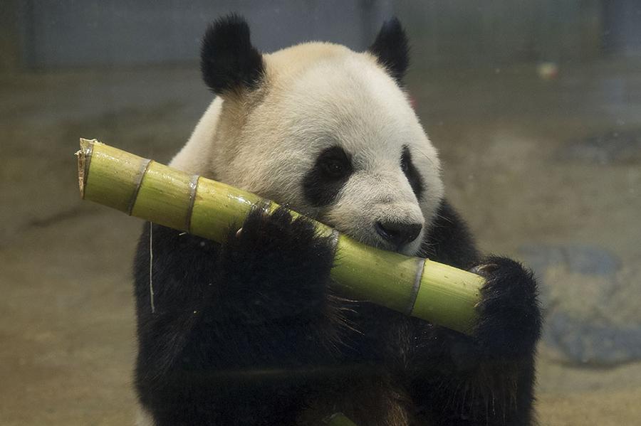 上野動物園 食べパンダ