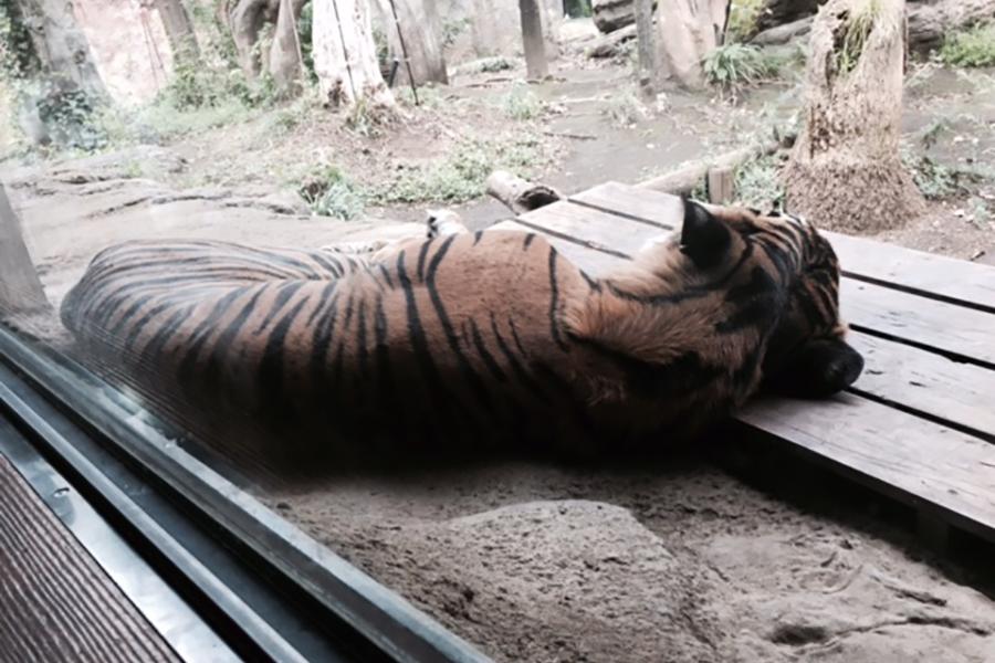 上野動物園 トラ