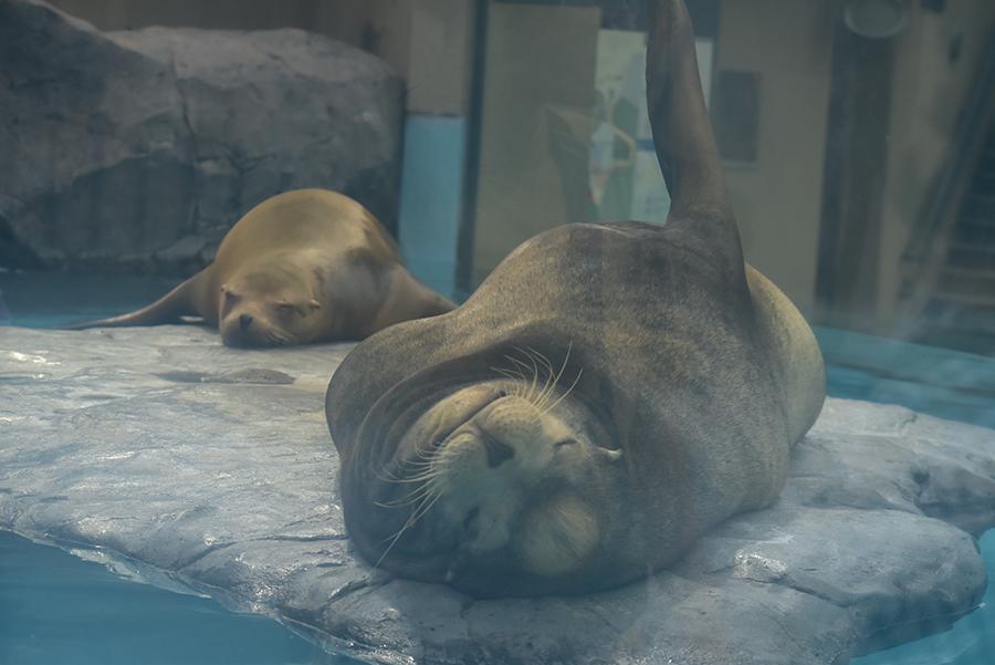 上野動物園 アシカ
