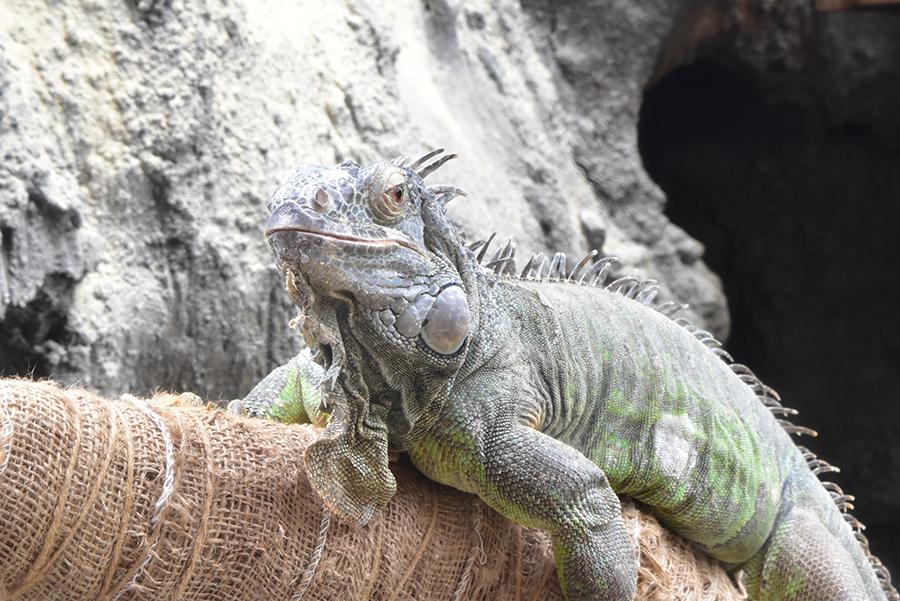 上野動物園 グリーンイグアナ