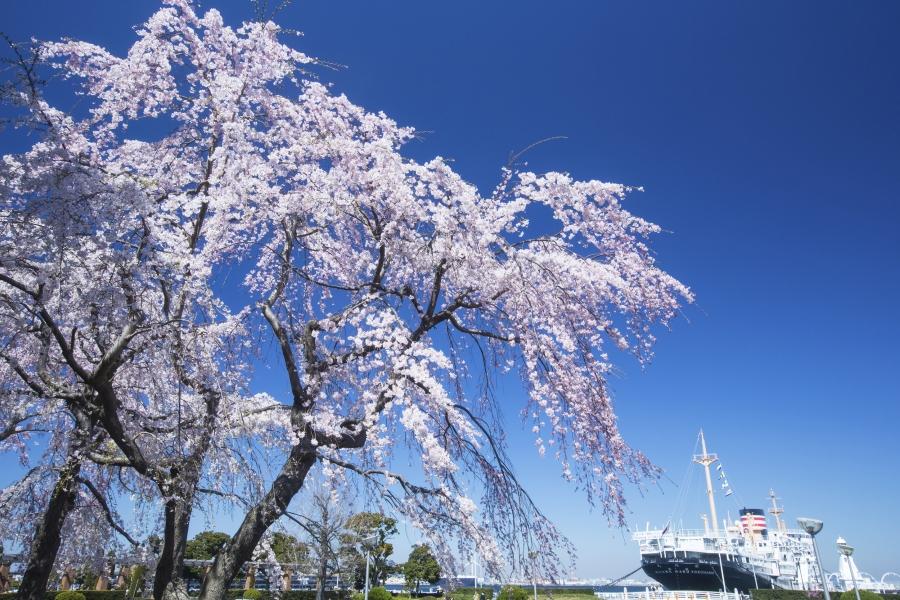 山下公園 桜
