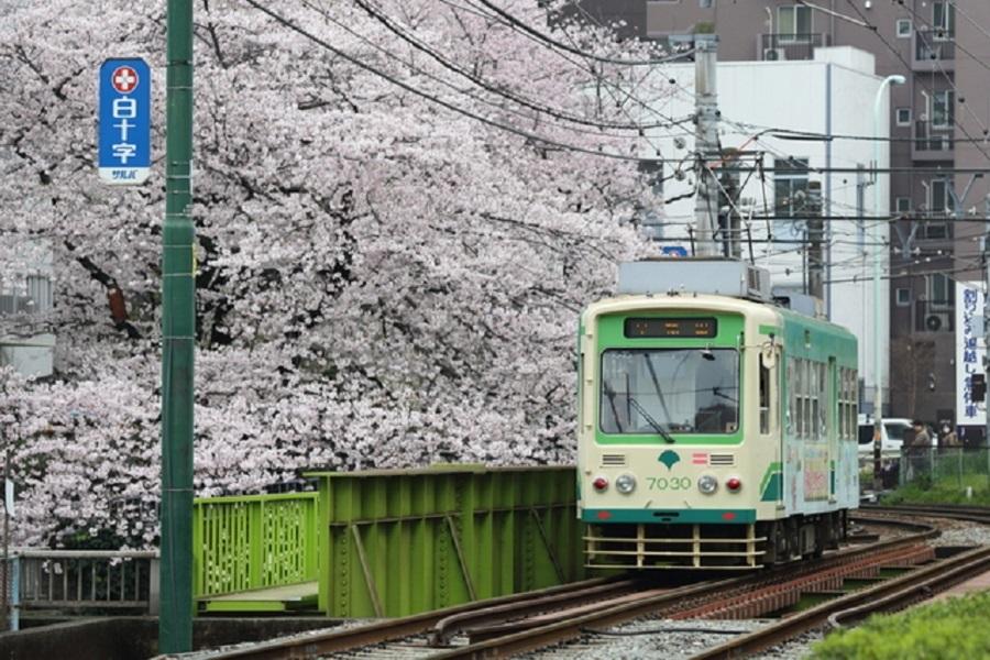 都電荒川線と桜